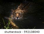 Jaguar  Panthera Onca  Swims ...