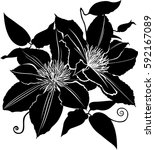 silhouette flowers clematis... | Shutterstock .eps vector #592167089