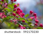 flowers red plum spring in the... | Shutterstock . vector #592170230