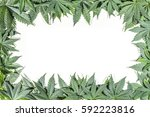 green cannabis leafs frame with ... | Shutterstock . vector #592223816