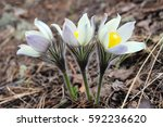 first flowers of spring in the...   Shutterstock . vector #592236620