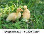 Little Ducklings In The Grass...