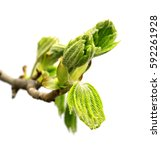 Small photo of Spring twig of horse chestnut tree (Aesculus hippocastanum) with young green leaves. Isolated on white background.