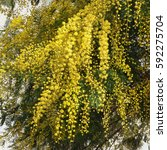Small photo of Spring flowers. Foliage and flowers of Acacia dealbata