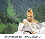 Yellow Bellied Marmot Standing...