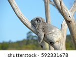 australian koala  phascolarctos ... | Shutterstock . vector #592331678