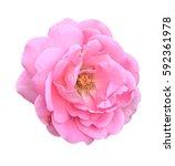 Stock photo pink damask rose flower on white background 592361978