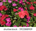 catharanthus roseus   Shutterstock . vector #592388909