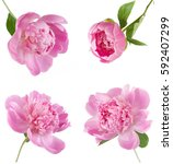 peony flowers set isolated on... | Shutterstock . vector #592407299