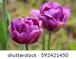 Tulip Terry 'lilac Perfection'...