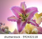 A Pink Star Gazer Lily On A...