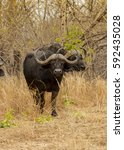 Small photo of African Buffalo paying close attention while we pass by, Botswana