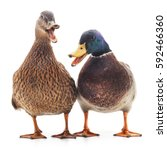 Two Wild Ducks Isolated On A...