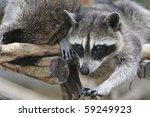 procyon lotor | Shutterstock . vector #59249923