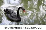 One Beautiful Black Swan...