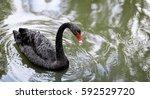 One Beautiful Black Swan...