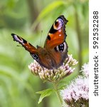 Small photo of The European Peacock butterfly (Aglais io) on Hemp-Agrimony aka Holy Rope (Eupatorium cannabinum)