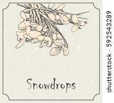 snowdrop flowers. vintage... | Shutterstock .eps vector #592543289