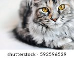beautiful silver tabby maine... | Shutterstock . vector #592596539