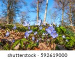Anemone Hepatica Flowers In A...