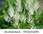 blooming blossoms white astilbe.... | Shutterstock . vector #592631690