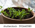 Sprouts Of Curly Parsley In A...