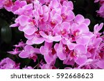 orchids close up  thai orchids. ... | Shutterstock . vector #592668623