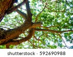 tree | Shutterstock . vector #592690988