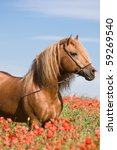 Portrait of beautiful stallion in the poppy field - stock photo