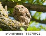 little owl  athene noctua  in a ... | Shutterstock . vector #59275921