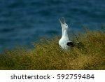 Small photo of Diomedea sanfordi - Northern Royal Albatros crying on his nest in New Zealand near Otago peninsula, South Island