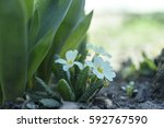 flowers and buds in spring | Shutterstock . vector #592767590