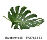 tropical jungle leaf  monstera  ... | Shutterstock . vector #592768556