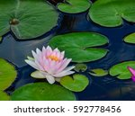 Pink Water Lily On Lilypads In...