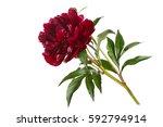 Stock photo burgundy peony isolated on white background 592794914