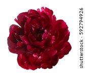 Stock photo burgundy peony flower isolated on white background 592794926
