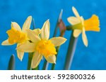 Jonquil Or Narcissus Flowers...