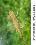 Small photo of newt triton salamander amphibia animal