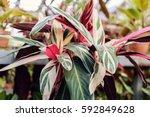 calathea     green leaf layer... | Shutterstock . vector #592849628