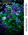 Small photo of purple and white alyssum flowers