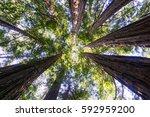 redwood forest  california   Shutterstock . vector #592959200