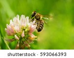 Closeup Of Bee At Work On Whit...