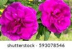 tea rose   Shutterstock . vector #593078546