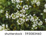 white spring flowers close up... | Shutterstock . vector #593083460