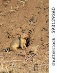 Small photo of The dwarf mongoose sits near the hole and is ready to hide at any time