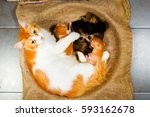 Stock photo mother cat breastfeeding little kittens over the gunny 593162678