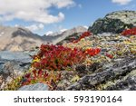 Small photo of Beautiful floral background with red exotic flowers Rhodiola quadrifida closeup on the rocks on the background of blue sky and clouds in the mountains