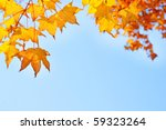 Fall Yellow Maple Leaves In Th...