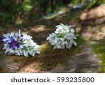 spring snowdrop flowers   Shutterstock . vector #593235800