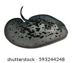 Marbled Stingray Isolated On...
